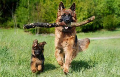 németjuhász kutya